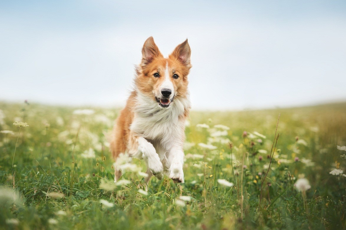 ear infections dogs vets